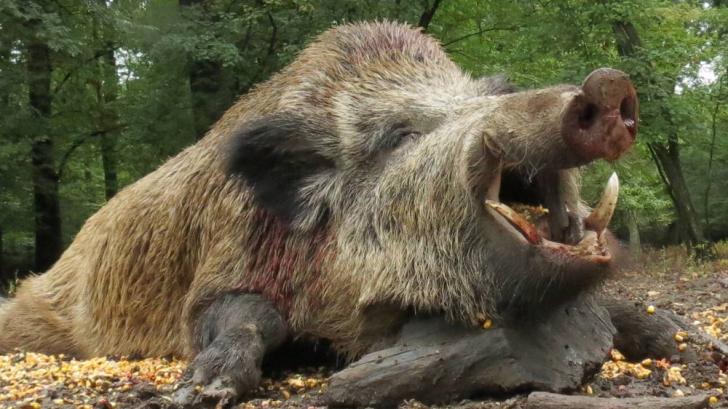 ATENŢIONARE! Vânătoarea mistreţilor şi a prădătorilor poate extinde focarele de pestă porcină