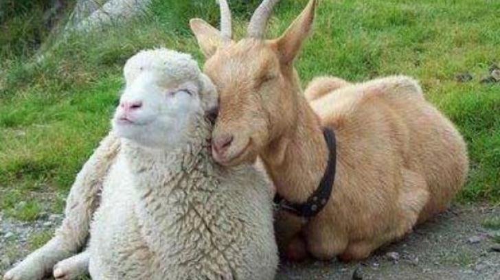 pesta oilor si porcilor