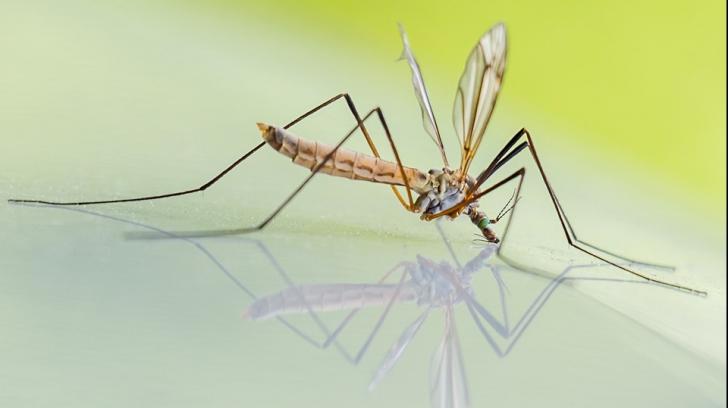 Cum arată cei mai periculoși tânțari. Pot transmite West Nile, Zika, ori malarie