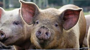 China a sacrificat 40.000 de porci în prima lună de la primul focar de pestă porcină africană