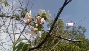 Fenomen neobișnuit la Timișoara: pomi fructiferi, înfloriți în prag de toamnă! / Foto: infocs.ro