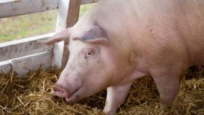 Cum arată un porc bolnav de pestă porcină africană