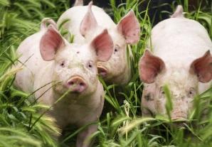 Pesta porcină a ajuns în Dâmboviţa. Numărul judeţelor afectate a ajuns la 13