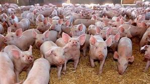 Dăncilă i-a trimis lui Iohannis o informare despre stadiul pestei porcine africane