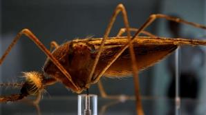 Descorire revoluţionară: oamenii de ştiinţă au reuşit să elimine ţânţari care transmit malaria