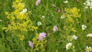 tratamente naturiste cu flori de fan