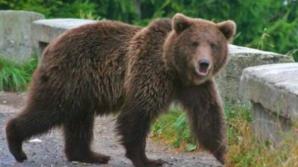 Când autorităţile recurg la cea mai simplă soluţie: un alt urs va fi împuşcat