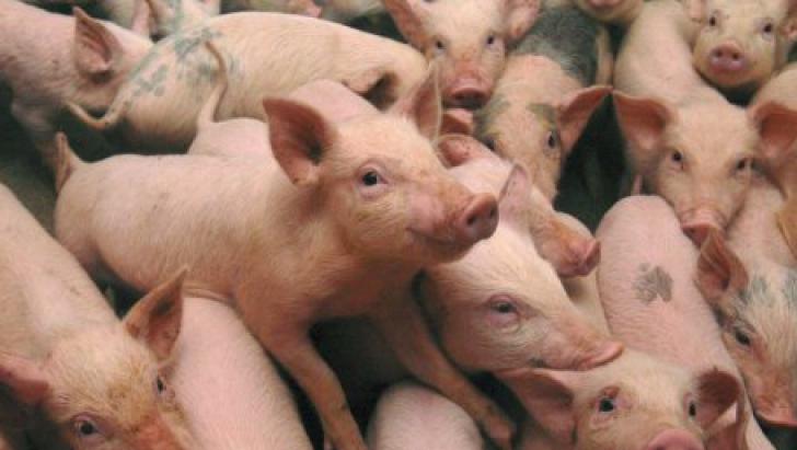 Noi focare de pestă porcină confirmate în România. Toți porcii vor fi sacrificați