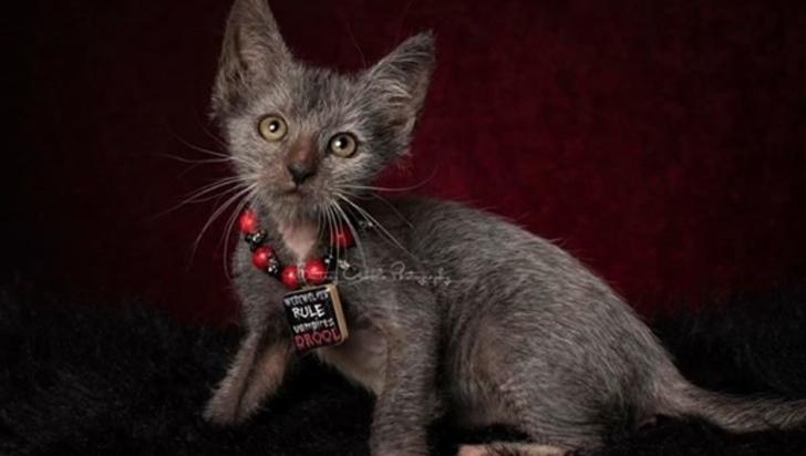 Weekend de pisiceală, cele mai rare specii de pisici au ajuns în Bucureşti