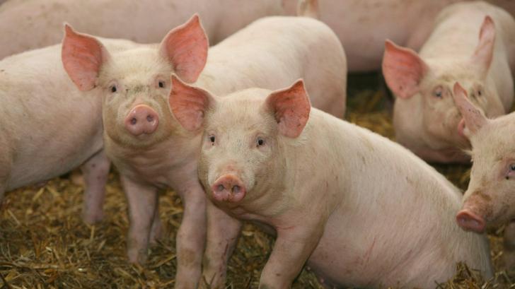Care era numărul de porci înainte de declanşarea pestei în România. DEZASTRU. Datele la zi