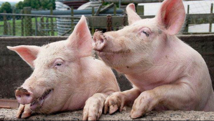 Se înmulţesc cadavrele de porci pe Dunăre. Imagini revoltătoare