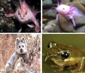 Creaturi uluitoare de care n-ai mai auzit până acum: Ili Pika, Broasca Pinocchio, Peştele cu mâini