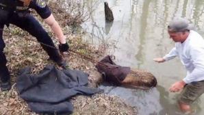 Au zis că salvează un castor din mlaştină.Când i-au scos sacul de pe cap, s-au speriat ce animal era