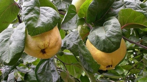 Păstrează peste iarnă frunzele de gutui. Au proprietăţi fantastice pentru sănătate