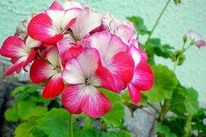 Cum să tratezi reumatismul cu flori de muşcată