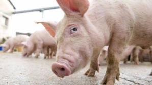 Pesta porcină africană se extinde în Teleorman