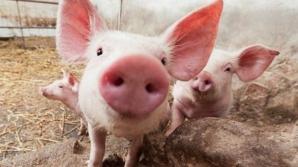 EPIDEMIA se extinde. Primul caz de pestă porcină africană din judeţul Teleorman