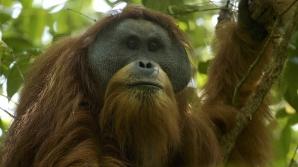 O specie extrem de rară de maimuţe, la un pas de extincţie