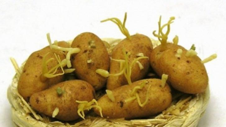 Cât de nesănătoşi sunt cartofii încolţiţi. Iată ce substanţă conţin. Nu o să mai mănânci niciodată
