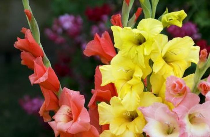 Trucuri pentru creşterea gladiolelor. Cum să ai cele mai frumoase flori