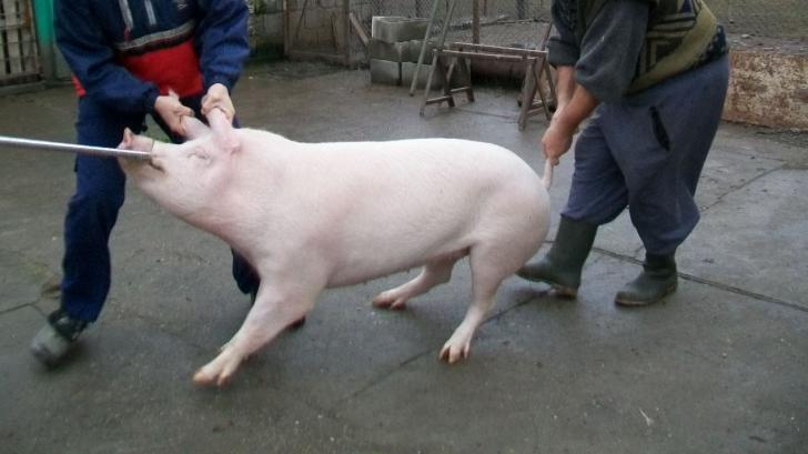 Primul caz de pestă porcină confirmat în Vrancea