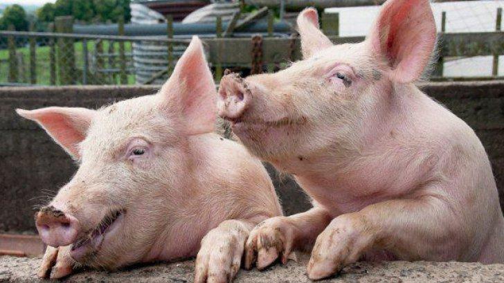Aproape 200 de porci sănătoşi şi-au găsit sfârşitul în urma unui accident rutier
