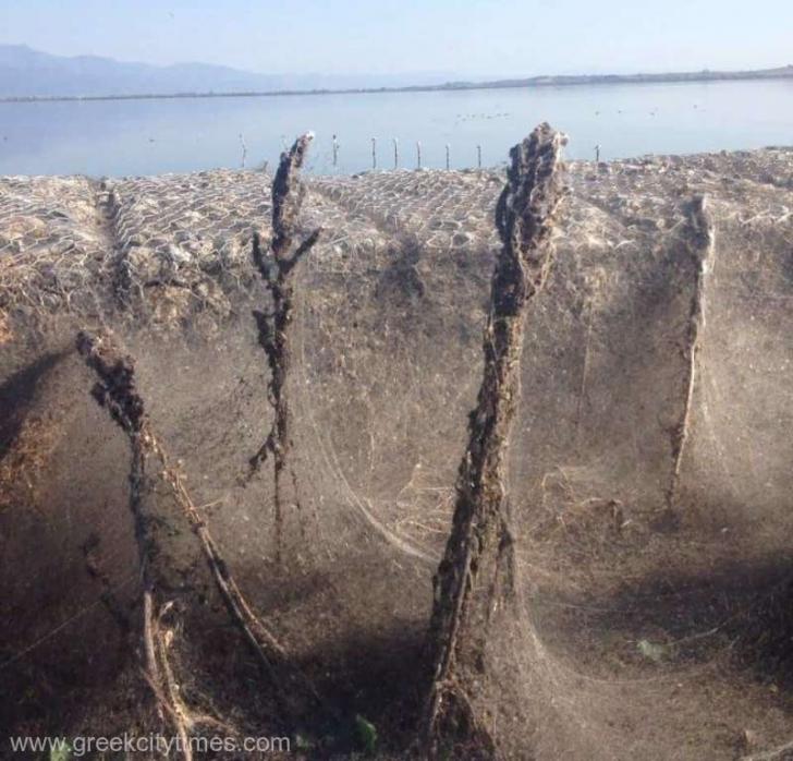 Halucinant: malurile unui lac, acoperite în întregime de o pânză de păianjen GIGANT
