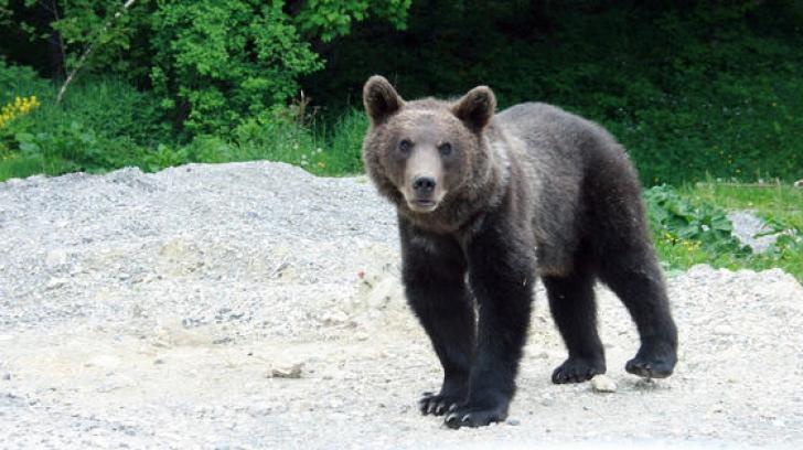 România. Încă un urs a fost omorât. Cum s-a întâmplat aşa ceva