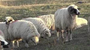 """După pestă, vine """"boala oii nebune"""": Cinci focare, descoperite în județul Sibiu"""