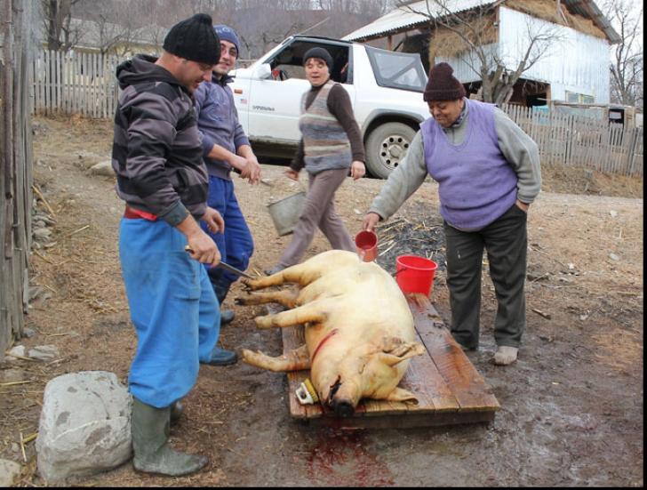 La Rusănești, Crăciunul a venit mai devreme. 90% din porci, tăiați de frica pestei