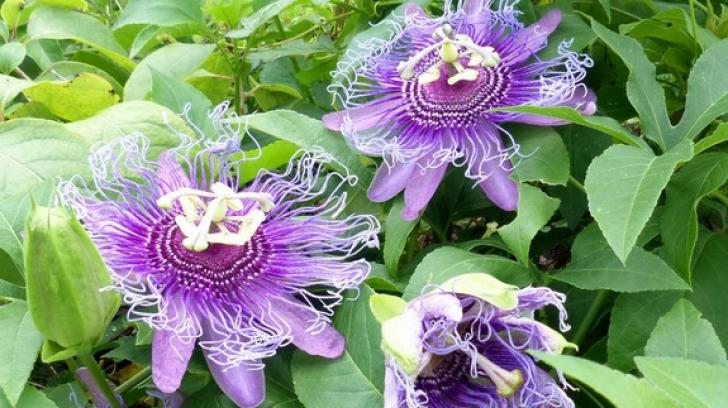 Floarea patimilor, plantă de leac la toate popoarele lumii. Remediu pentru zeci de boli