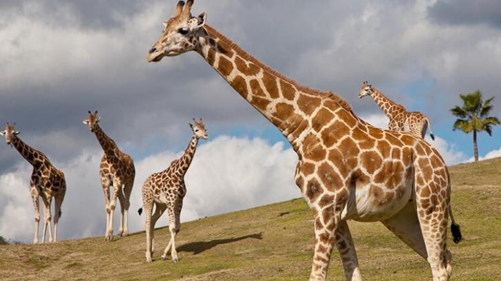 Girafele preferă să ia masa... cu prietenii