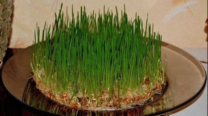 Cum se pune corect grâul la încolţit. Greşeala pe care toată lumea o face