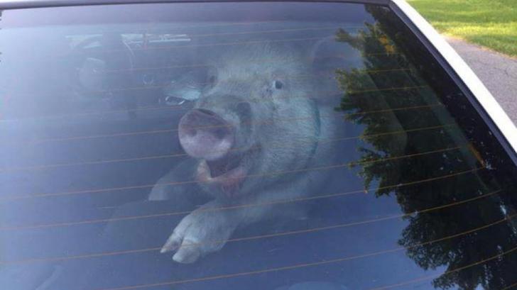 Cum pot transporta giurgiuvenii din zonele fără restricții porcul de Crăciun