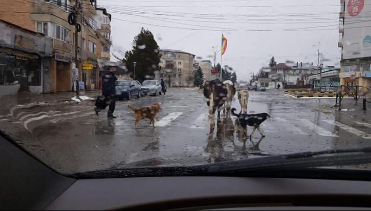 Test pentru şoferii din Moreni: cine are prioritate, câinii de pe trecere sau vacile din trafic?
