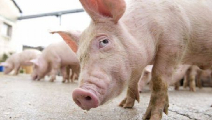 Un ieșean a fost mușcat de porcul pe care încerca să-l taie în Ajun de Crăciun