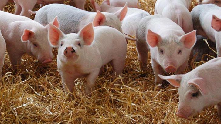 Pestă porcină africană confirmată într-o altă comună din Olt