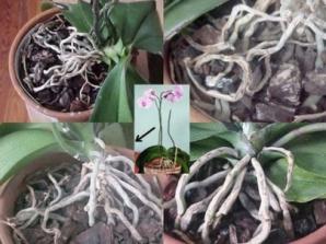 Ce trebuie să faci cu tija de la orhidee după ce au căzut toate florile: o tai sau o păstrezi?