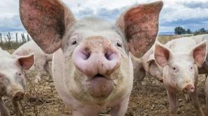 Alertă! Nou focar de PESTĂ porcină! Zeci de animale eutanasiate