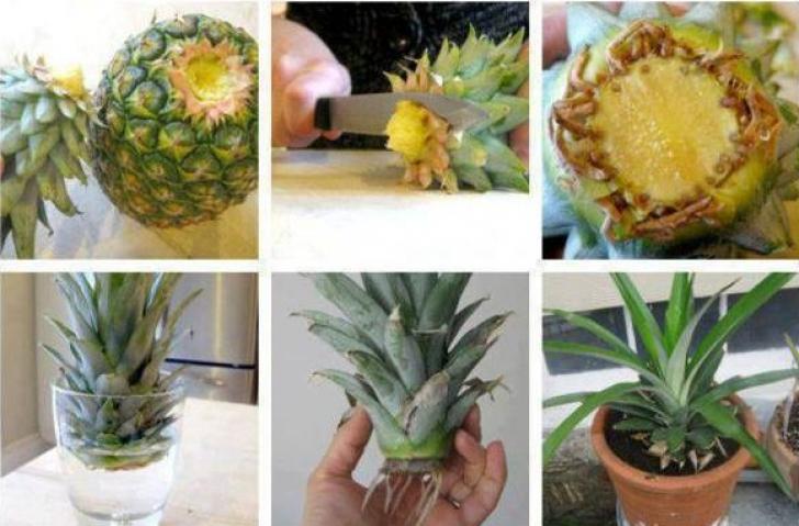 Ananas în ghiveci