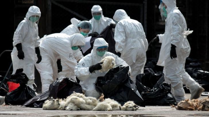 Gripa aviară din Bulgaria