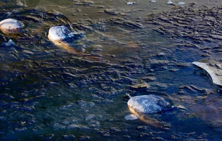 A fost atât de frig încât aligatorii au înghețat cu boturile la suprafață