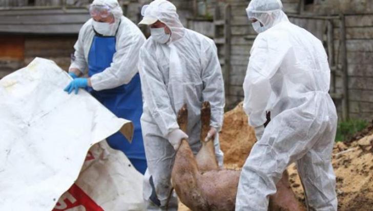 Suspiciune de pestă porcină lângă Buzău