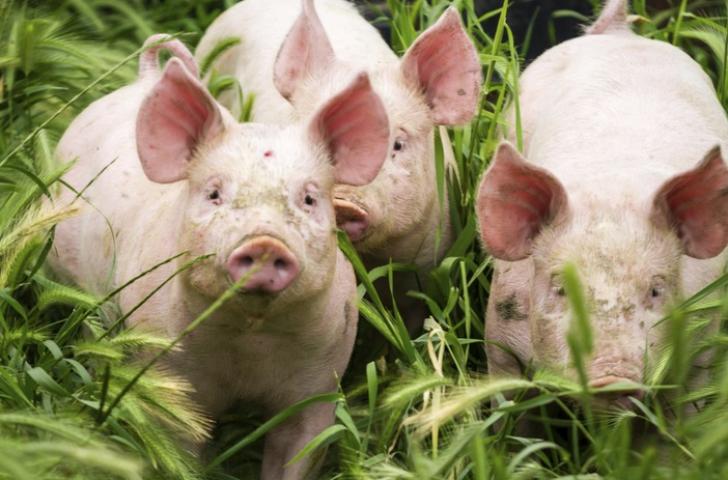 Pesta porcină, confirmată într-o gospodărie din județul Timiș