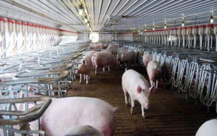 Dezastru în Timiş, cel mai mare procesator de carne de porc din România nu mai exportă