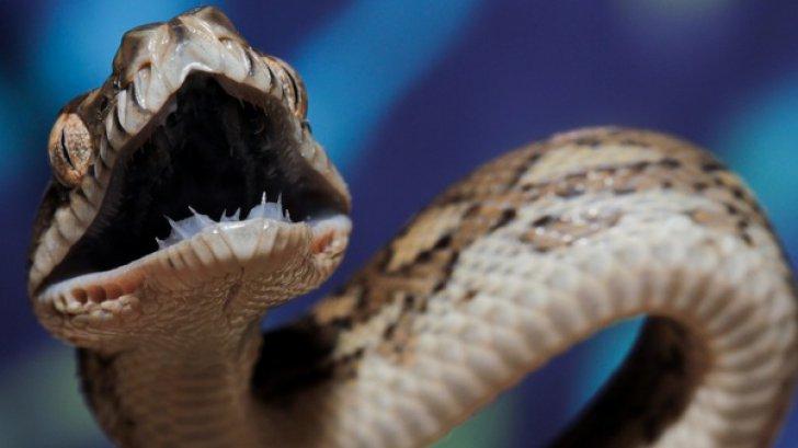Muşcat de şarpele veninos, a luat mâna soţiei şi a înfipt dinţii, pentru a muri împreună. Ce a urmat