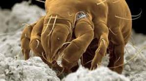 Alergia la acarieni