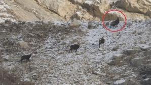 Capre negre în Munții Bucegi