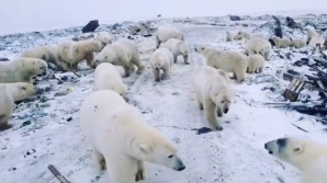 urși polari - Rusia