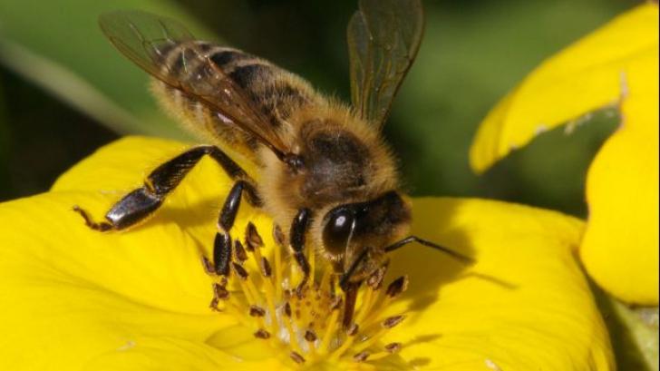 Albinele pot face adunări și scăderi